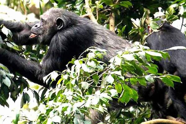 5 Day Uganda Chimps