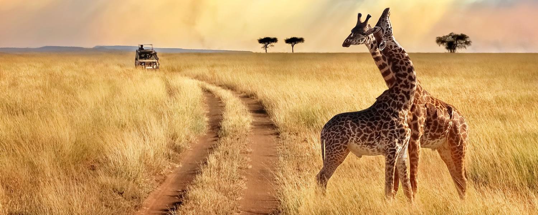 Giraffes in Queen