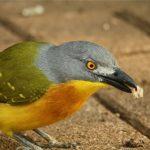 10 Day uganda Birding Safari
